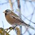 Winter plumage. Note: yellow bill.