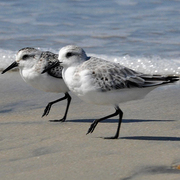 Winter plumage (foreground) and juvenile (background)