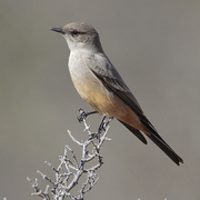 Note: gray back and rufous belly.