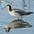 Breeding plumage female.