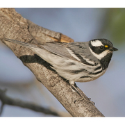 Male. Note: gray back, black throat, and yellow lores.