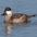 Male, winter plumage