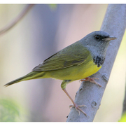 Male. Note: lack of eye arcs, gray hood, dark breast band, and pale pink bill.