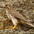 Adult. Note: yellow cere (around beak)